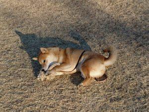 柴犬 メグちゃん