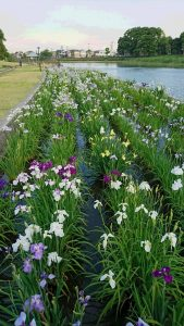花菖蒲畑は満開