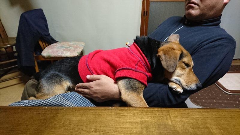 柴犬 ビーグル ミックス犬 レックス
