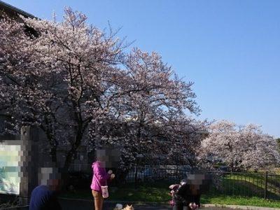 桜が満開!犬もお花見ですワン