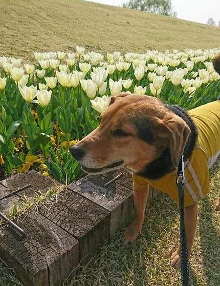 白いチューリップとレックス犬