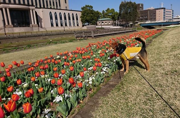 オレンジのチューリップとレックス犬