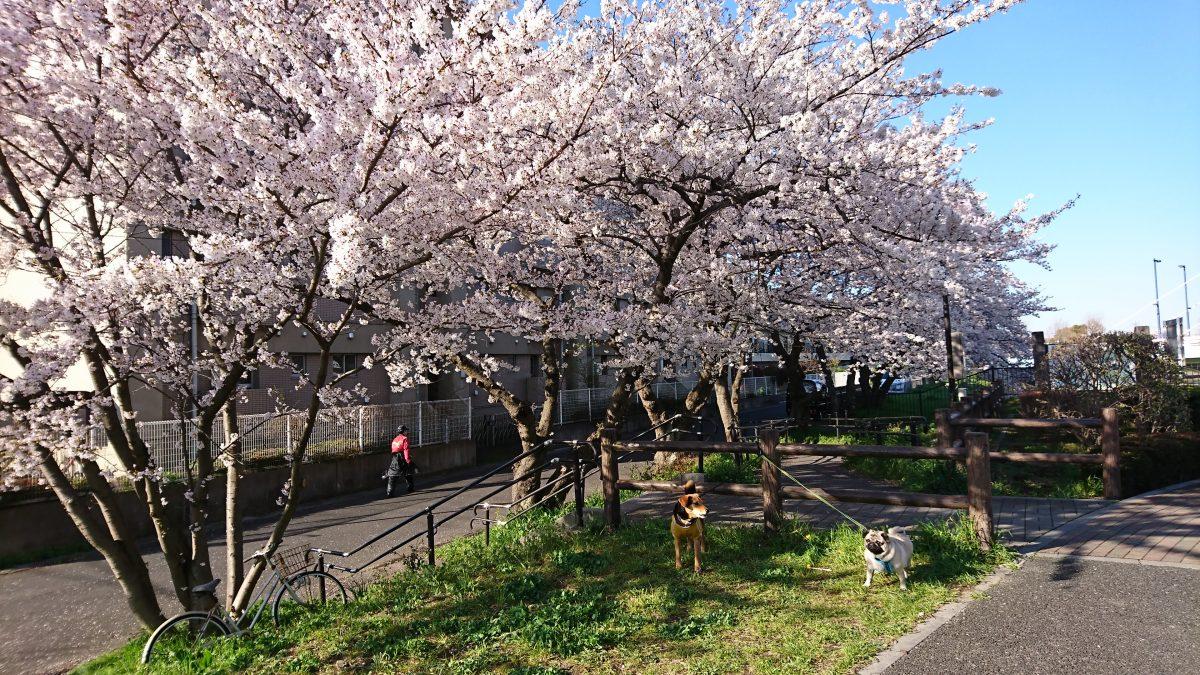 桜はやっぱりいいんだワン