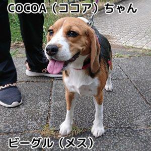 COCOAちゃん(ココア)
