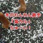 冬のわんわん散歩は塩カルに注意
